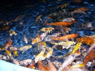 Koi at Freshwater Farms