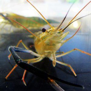 Shrimp Closeup