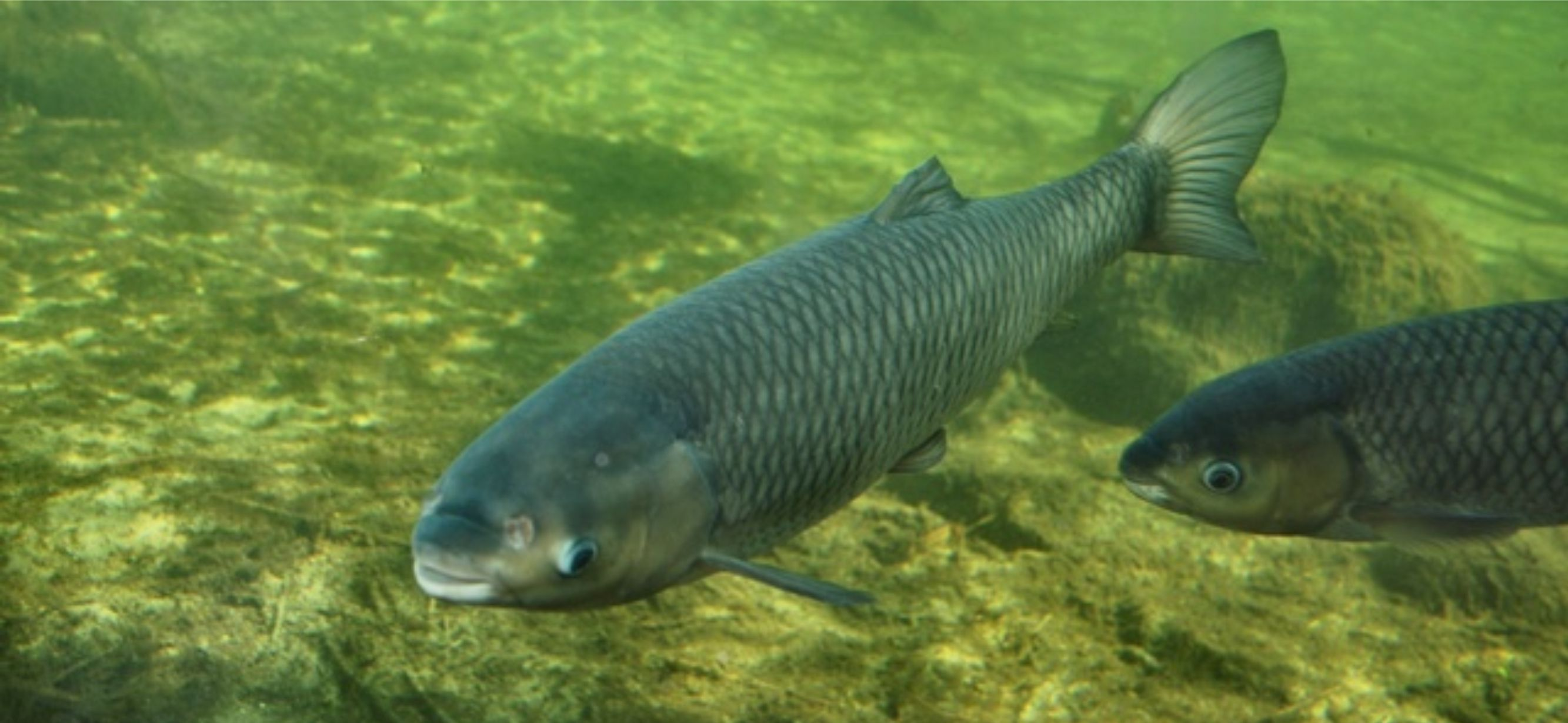 What is the difference between white amur and grass carp for White amur fish
