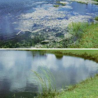 White Amur Clean Pond
