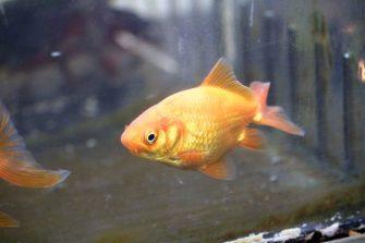 goldfish 03