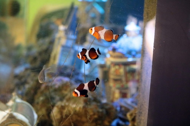 clown fish in our salt water tank