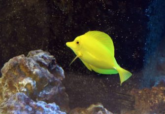 yellow tang 02
