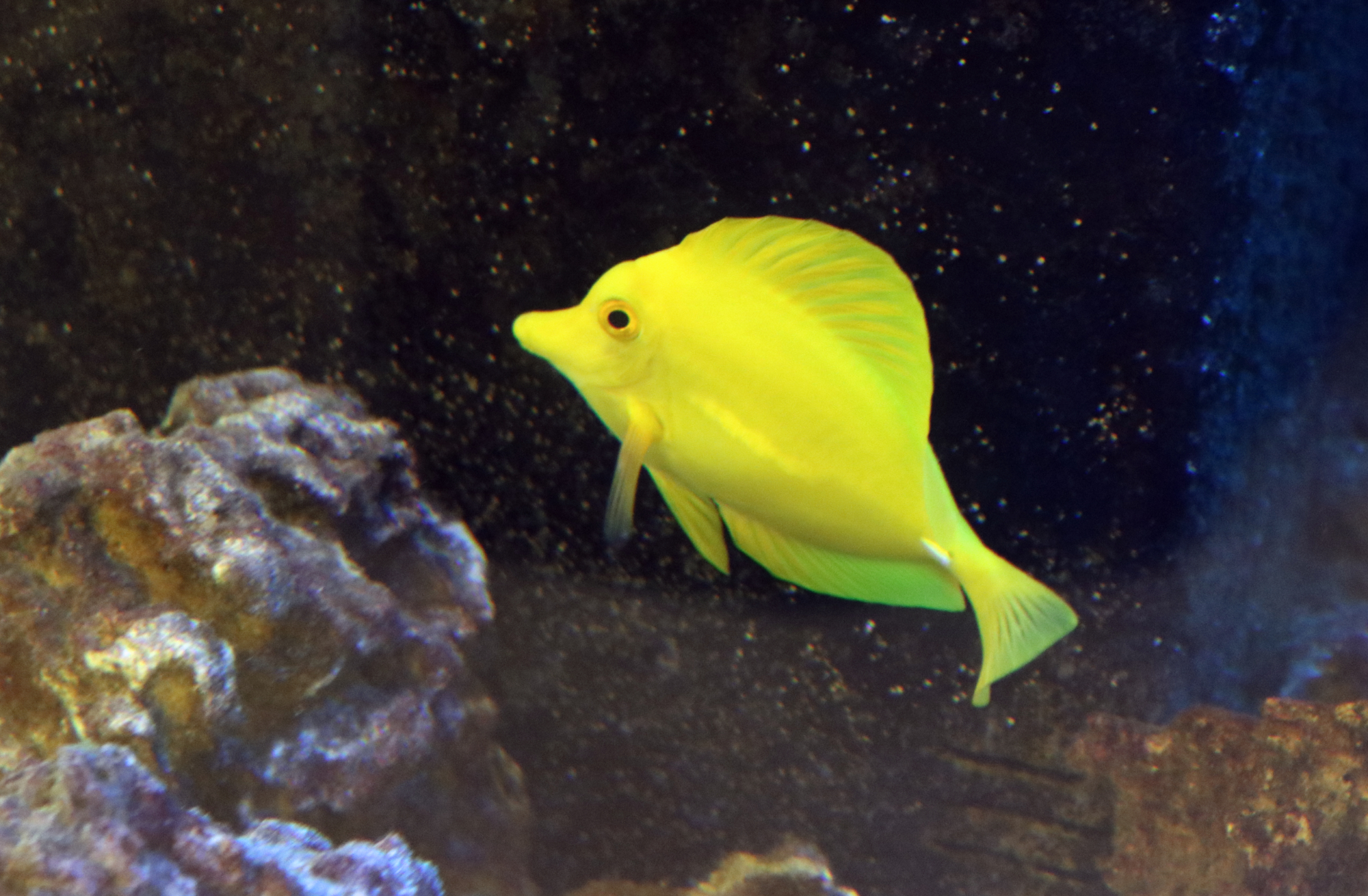 a yellow tang in our salt water tank