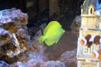yellow tang 03