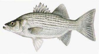 Hybrid-Striped Bass