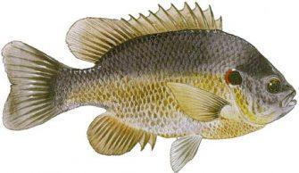 Red Ear Sunfish